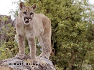 photo of Young Cougar Animal Puma