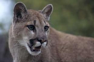 photo of Cougars