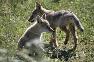 photo of Coyote Puppies