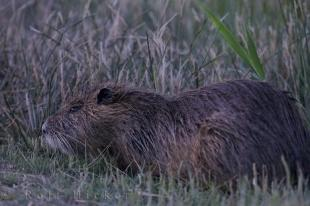 photo of Coypu Camargue France