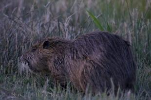 photo of Coypu France
