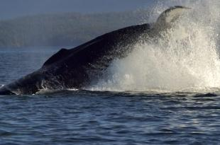 photo of humpback whale playing