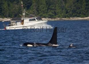 photo of orca whale and dolphin