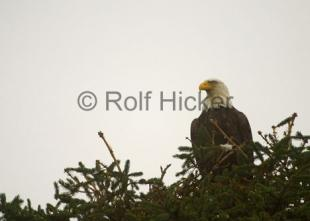 photo of Bald Eagle watching