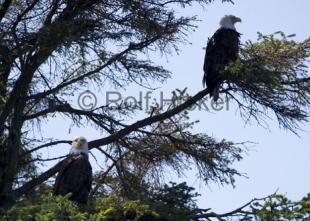 photo of Bald Eagles CRW 8101