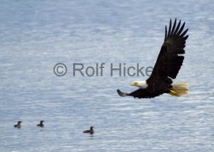 photo of Flying Bird pictures of bald eagles