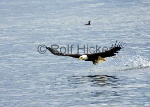 photo of Bald Eagle fishing Missing Fish