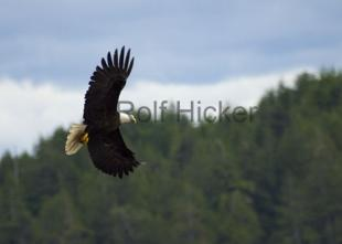 photo of bald eagle images flying bird