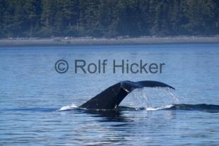 photo of Humpback Whale Tail Canada