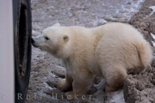 photo of Cute Baby Polar Bear Tundra Buggy Exploring