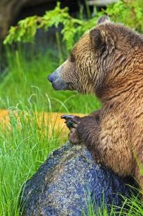 photo of Cute Coastal Grizzly Bear Resting on Rock