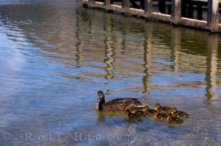 photo of Cute Duck Picture Lake Rotoiti Nelson Lakes NP