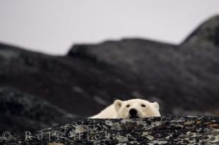 photo of Cute Polar Bear Resting Hudson Bay Churchill Manitoba