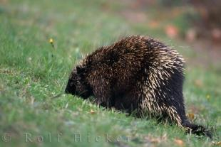 photo of Cute Porcupine