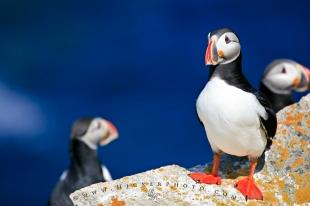photo of Cute Puffin Bird Picture