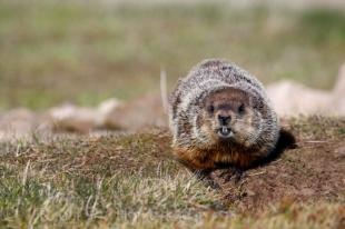 photo of Cute Woodchuck Picture Southern Labrador Canada