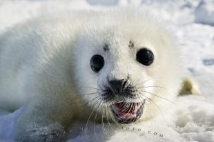 photo of Cute White Coat Harp Seal Baby Pup