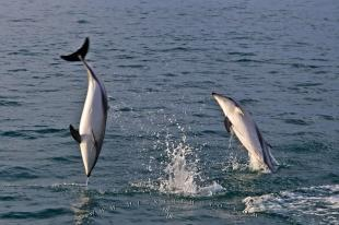 photo of Dusky Dolphin Watching Tour Encounter Kaikoura New Zealand