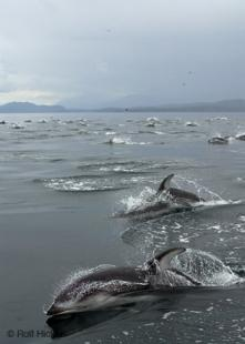 photo of Large herd wild dolphins British Columbia coast