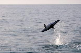 photo of Dusky Dolphin Leaping Kaikoura NZ