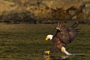 photo of Bald Eagle catching fish