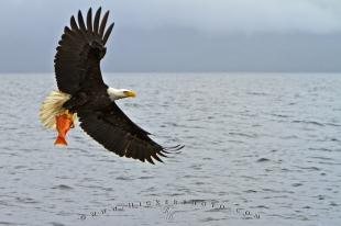 photo of Bald Eagle in Flight Red Snapper Fish