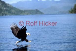 photo of Catching Fish Bald Eagle Photos