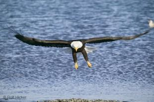 photo of Eagle Bird Flying Haliaeetus leucocephalus