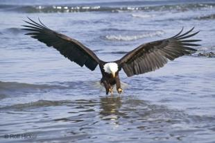 photo of Eagle Fishing