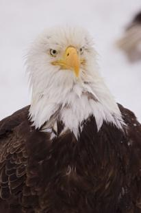 photo of Rough Looking Eagle Portrait