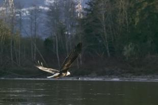photo of Flying Bald Eagle