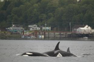 photo of Offshore Killer Whales