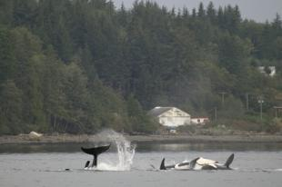 photo of offshore killer whale pod