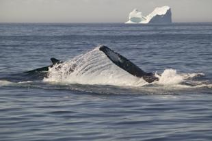 photo of humpback whales and icebergs