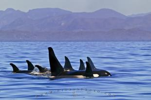 photo of Family Pod Orca Whales Scenery Coast Mountains