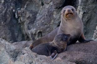 photo of New Zealand Fur Seal Family Reunion