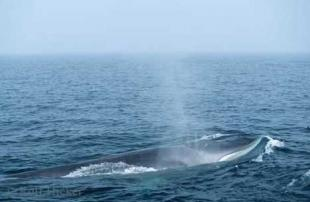 photo of Fin Whale