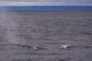 photo of Fin Whales Tadoussac Gulf St Lawrence Quebec Canada