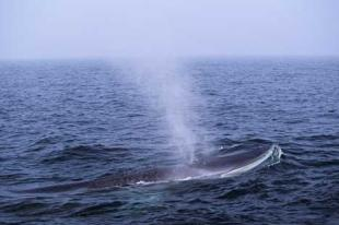 photo of Fin Whale Marine Animal