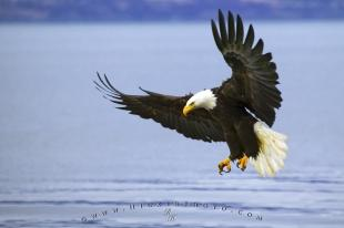 photo of Fishing Adult Bald Eagle