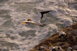 photo of Flying Gannet Muriwai Beach New Zealand