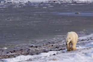 photo of Foraging Polar Bear Icy Shoreline Hudson Bay
