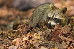 photo of Foraging Raccoon Killarney Provincial Park Ontario Canada