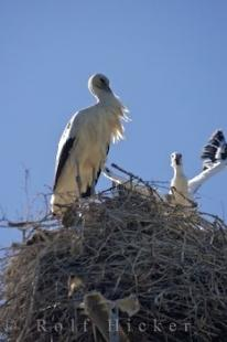 photo of France White Storks