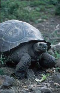 photo of Galapagos Giant Tortoise