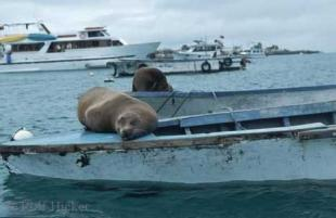 photo of Sea Lions Galapagos Island Wildlife