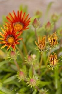 photo of Fiesta Red Gazania Flower Plant Picture