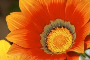 photo of Beautiful Gazania Rigens Treasure Flower Picture