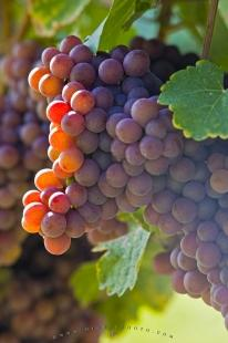 photo of Gewurztraminer Grapes Fruit Picture