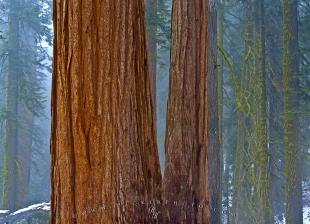 photo of Forest Giant Trees Fog Sequoia National Park